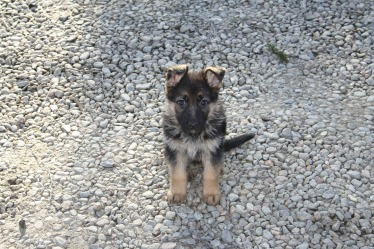 german-shepherd-puppy